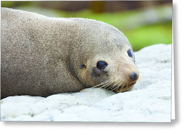 Sea Lions Greeting Cards - Sea Lion Greeting Card by Alexey Stiop