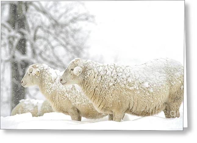 Sunset; Evening; Winter; Snow; Sheep Greeting Cards - Sheep in Snow Greeting Card by Thomas R Fletcher