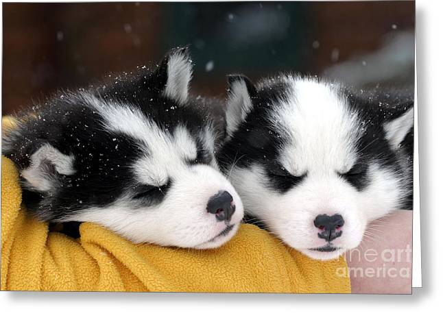 Huskies Greeting Cards - Siberian Husky Puppies Greeting Card by Rolf Kopfle