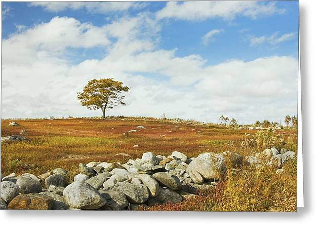 Blueberry Barrens Greeting Cards - Single Tree And Rock Wall In Maine Blueberry Field Greeting Card by Keith Webber Jr
