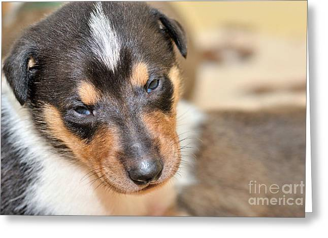 Dog Photo Greeting Cards - Smooth collie puppy Greeting Card by Martin Capek