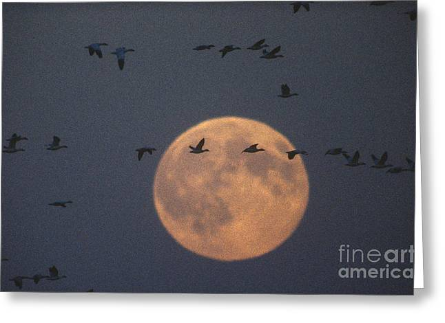 Birds In Flight At Night Greeting Cards - Snow Geese Greeting Card by James L. Amos