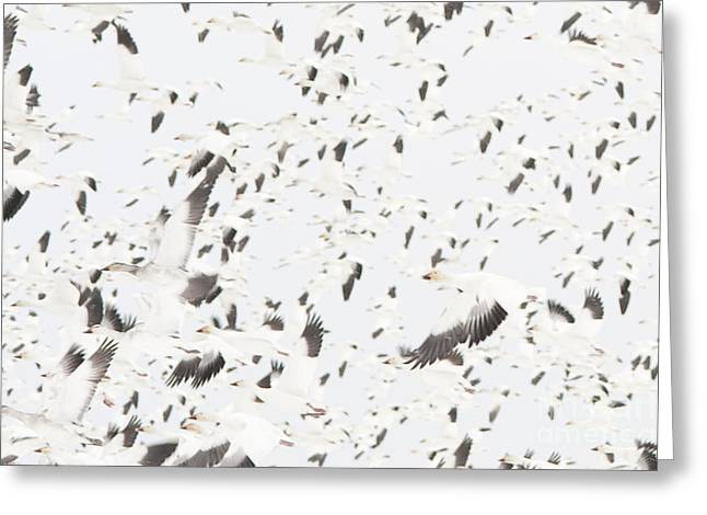The Flight Of The Snow Geese Greeting Cards - Snow Geese migration Greeting Card by Jim Corwin