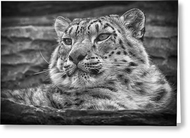 Leopard Photographs Greeting Cards - Snow Leopard Greeting Card by Chris Boulton