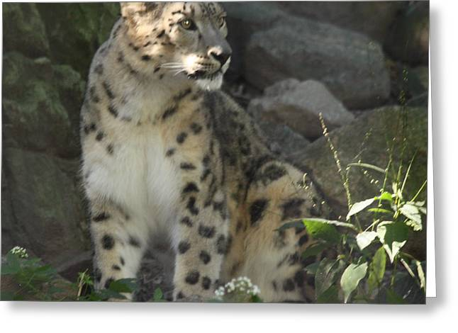 Snow Leopard On The Prowl Greeting Card by John Telfer