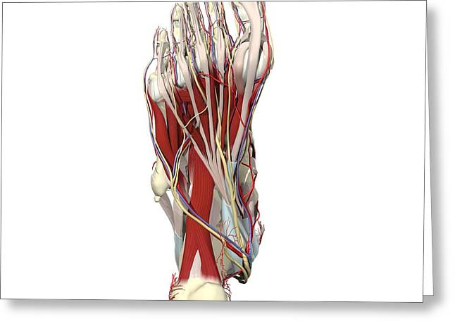 Flexor Digitorum Greeting Cards - Sole Of The Foot Greeting Card by Medical Images, Universal Images Group