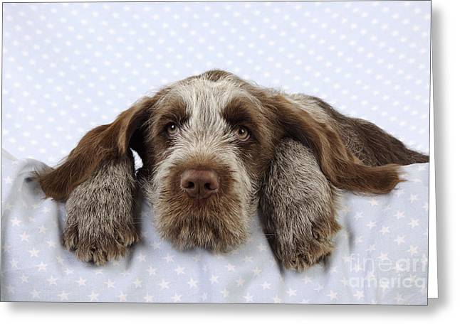 Canid Greeting Cards - Spinone Puppy Dog Greeting Card by John Daniels