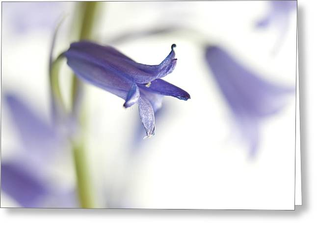 Zen-like Greeting Cards - Spring Bluebells Greeting Card by Carol Leigh