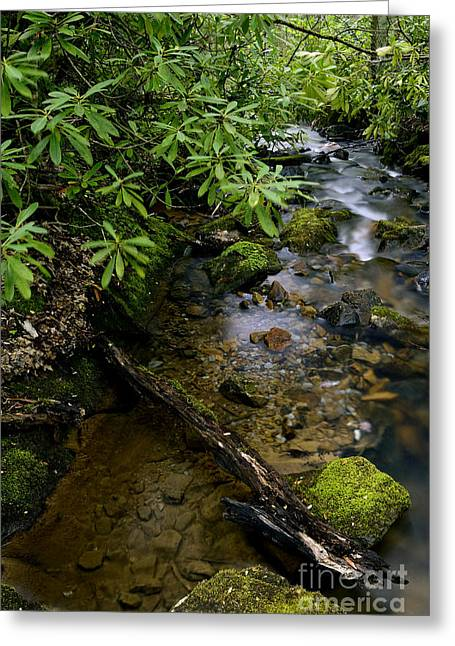 Rhododendron Maximum Greeting Cards - Spring Monongahela National Forest Greeting Card by Thomas R Fletcher