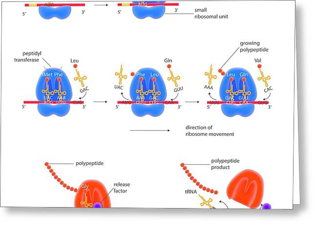 Stages Of Protein Synthesis Greeting Card by Science Photo Library