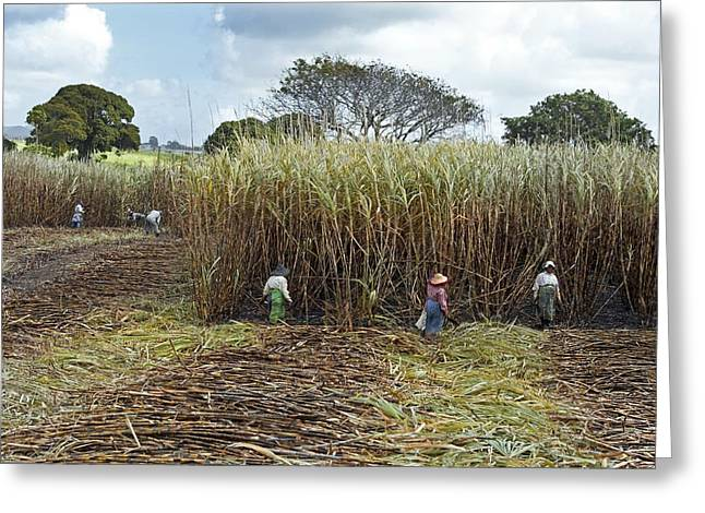Manual Greeting Cards - Sugar cane harvest, Mauritius Greeting Card by Science Photo Library