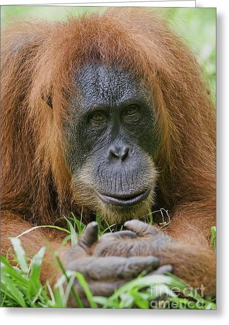 Sumatran Orang-utans Greeting Cards - Sumatran Orangutan Greeting Card by Tony Camacho