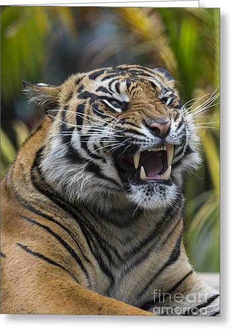 Sumatran Tiger Greeting Card by San Diego Zoo