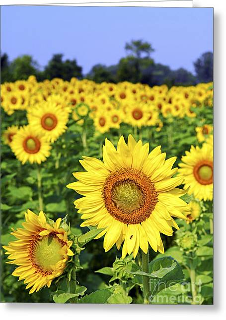 Field Greeting Cards - Sunflower field Greeting Card by Elena Elisseeva