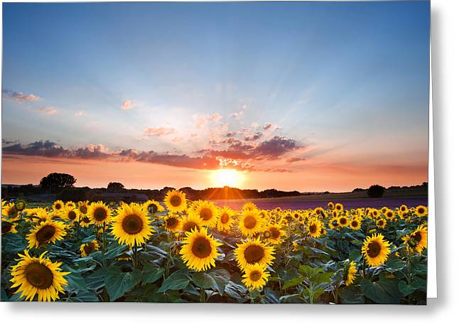 Crops Greeting Cards - Sunflower Summer Sunset landscape with blue skies Greeting Card by Matthew Gibson