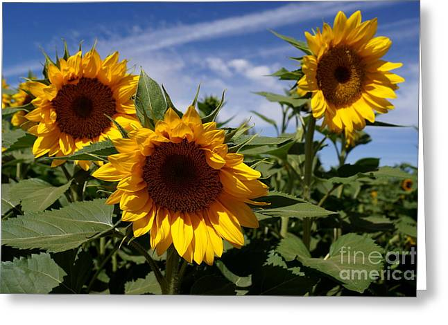 Farmstand Greeting Cards - 3 Sunflowers Greeting Card by Kerri Mortenson