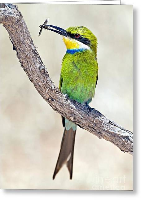 Swallow Tail Greeting Cards - Swallow-tailed Bee-eater Greeting Card by Tony Camacho