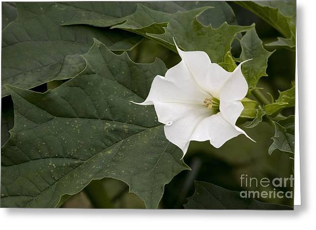 Thorn Apple Greeting Cards - Thorn Apple Datura Stramonium Greeting Card by Bob Gibbons