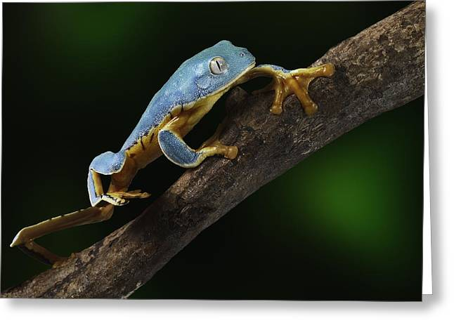 Nicaragua Greeting Cards - Tree frog climbing Greeting Card by Dirk Ercken