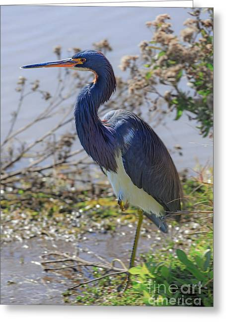 Egretta Tricolor Greeting Cards - Tricolored Heron Greeting Card by Louise Heusinkveld