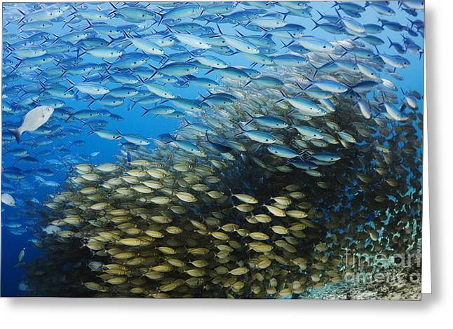 Fusilier Fish Greeting Cards - Tropical Fish Shoals Greeting Card by Georgette Douwma