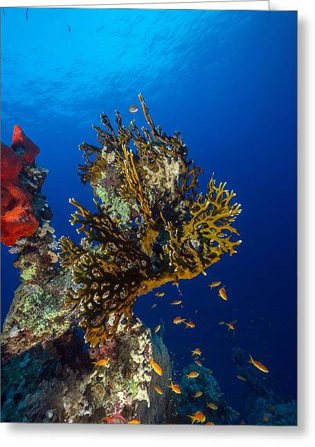 Sea Animals Greeting Cards - Tropical reef in the Red Sea. Greeting Card by Stephan Kerkhofs