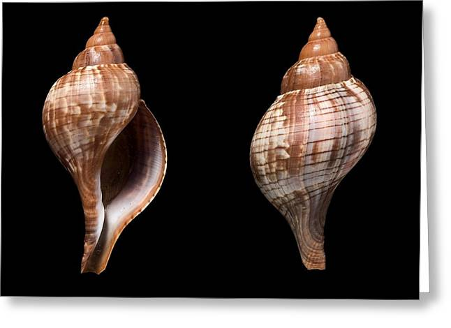 Aquatic Greeting Cards - True tulip shells Greeting Card by Science Photo Library