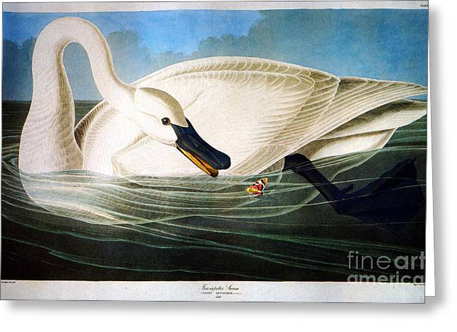 Louisiana Heron Greeting Cards - Trumpeter Swan Greeting Card by Celestial Images