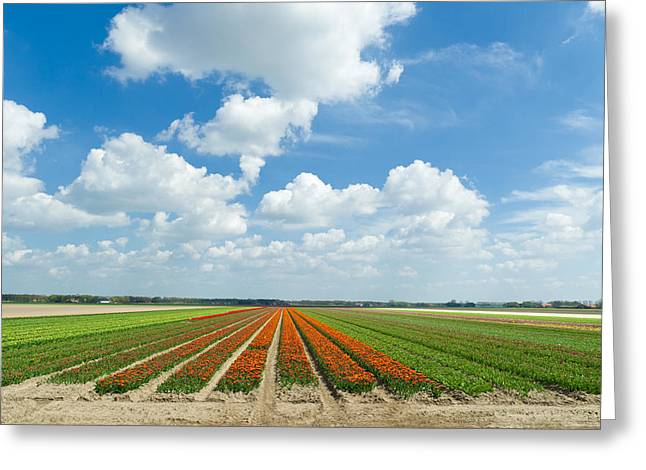 Spring Bulbs Greeting Cards - Tulip Field Greeting Card by Hans Engbers