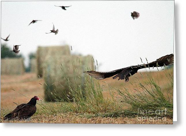Mccombie Greeting Cards - Turkey Vultures Greeting Card by J McCombie