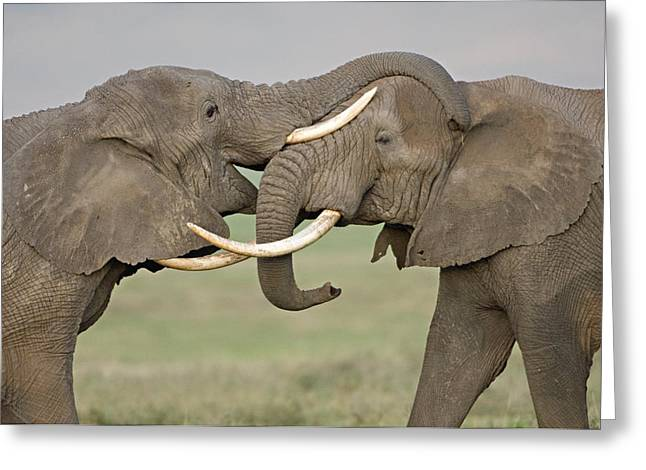 Jousting Greeting Cards - Two African Elephants Fighting Greeting Card by Panoramic Images