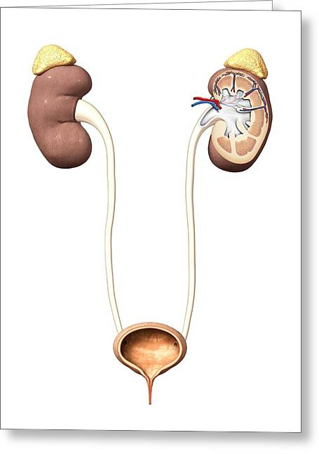 Excretory System Greeting Cards - Urinary system, artwork Greeting Card by Science Photo Library
