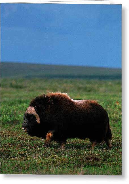 Usa, Alaska, Alaska North Slope, Arctic Greeting Card by Hugh Rose