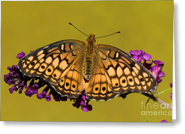 Duval County Greeting Cards - Variegated Fritillary Greeting Card by Millard H. Sharp