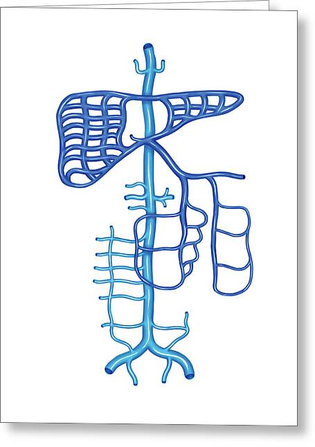 Venous System Of The Abdomen Greeting Card by Asklepios Medical Atlas
