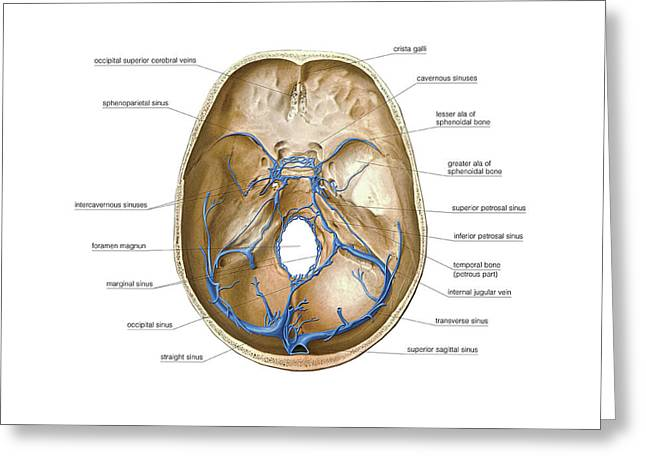 Venous System Of The Brain Greeting Card by Asklepios Medical Atlas