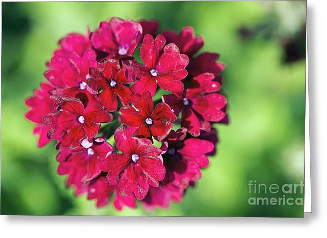 Verbena Greeting Cards - Verbena Claret Greeting Card by Dr. Keith Wheeler