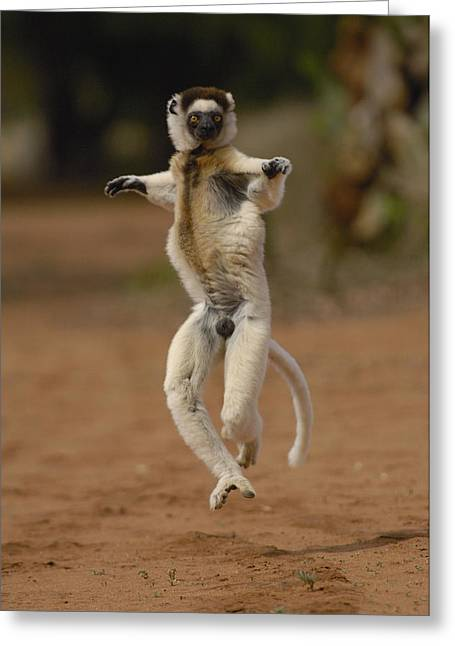 Berenty Private Reserve Greeting Cards - Verreauxs Sifaka Hopping Berenty Greeting Card by Pete Oxford