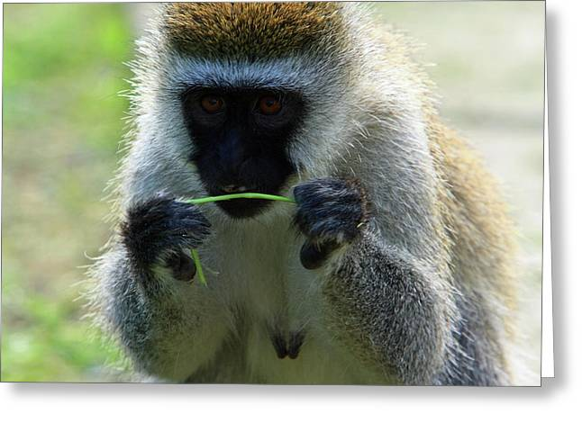 Moran Greeting Cards - Vervet Monkey Greeting Card by Aidan Moran