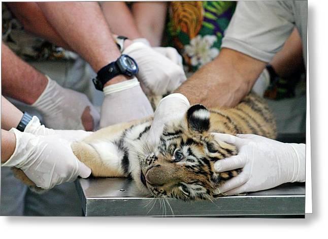 Vets Examining An Amur Tiger Cub Greeting Card by Jim West