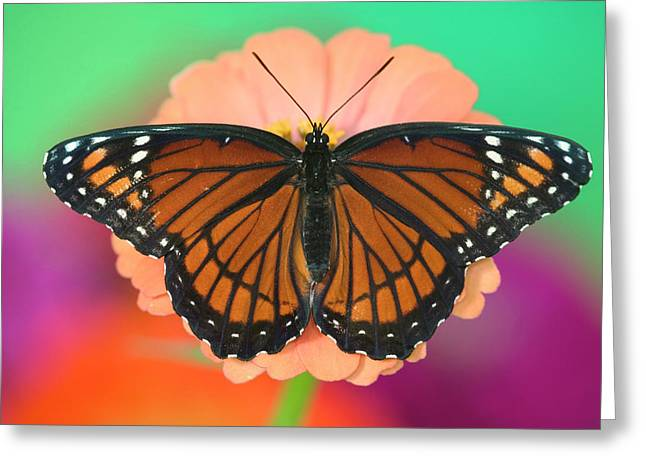 Viceroy Butterfly A Mimic Greeting Card by Darrell Gulin
