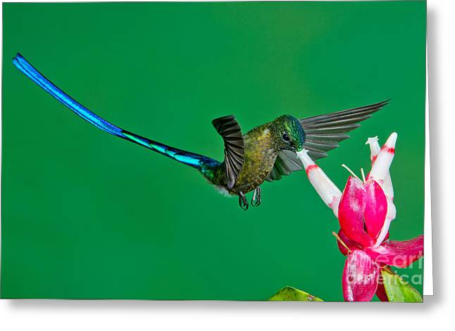 Coelestis Greeting Cards - Violet-tailed Sylph Greeting Card by Anthony Mercieca