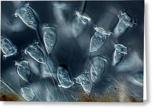 Vorticella Protozoa Greeting Card by Frank Fox