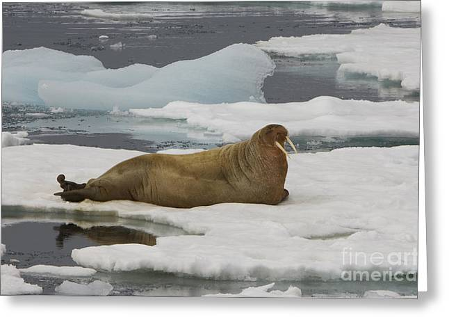 Norwegian Sea Greeting Cards - Walrus Resting On Ice Floe Greeting Card by John Shaw