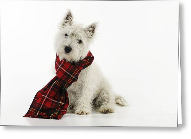 Scottish Terrier Puppy Greeting Cards - West Highland White Terrier Puppy Greeting Card by John Daniels