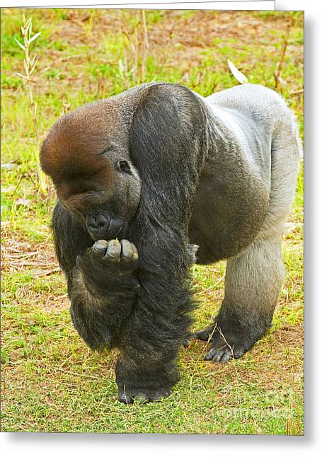 Critically Endangered Species Greeting Cards - Western Lowland Gorilla Male Greeting Card by Millard H. Sharp