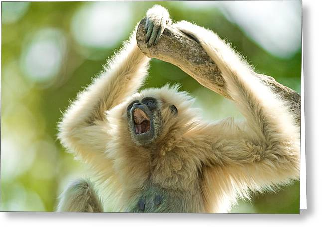 Growling Greeting Cards - White-Handed Gibbon Greeting Card by Celso Diniz