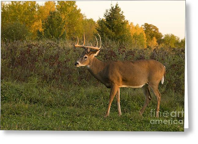 White-tailed Buck In Fall Greeting Card by Linda Freshwaters Arndt