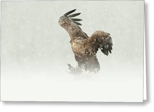 Scavenge Greeting Cards - White-tailed Eagle Greeting Card by Andy Astbury