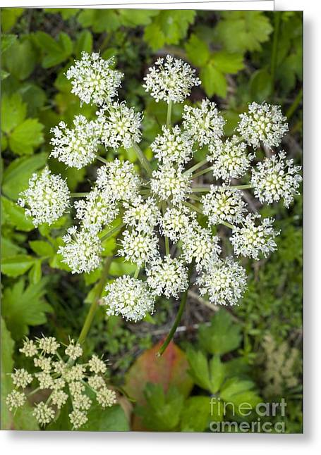 Angelica Greeting Cards - Wild Angelica Angelica Sylvestris Greeting Card by Duncan Shaw